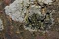Lecidella elaeochroma 62259310.jpg