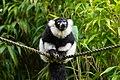 Lemur (24169317698).jpg