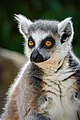 Lemur (27761454888).jpg