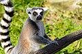 Lemur (31145332198).jpg