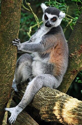 Singapore Zoo - Image: Lemur singapore zoo 2009