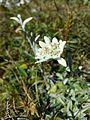 Leontopodium alpinum subsp. alpinum sl4.jpg