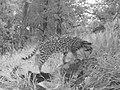 Leopardus pardalis pardalis.jpg