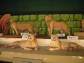 Leopon cross between a leopard and a lioness