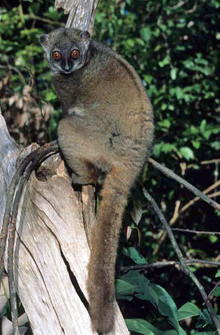 A sportive lemur (small body, long legs, brown fur, large eyes, and thick, furry tail) clings to the side of a tree, with its head turned towards the camera.