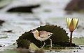 Lesser Jacana, Microparra capensis, Chobe River, Botswana (31403542283).jpg