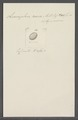Leucophra aurea - - Print - Iconographia Zoologica - Special Collections University of Amsterdam - UBAINV0274 113 16 0017.tif
