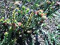 Leucospermum truncatulum bush.JPG
