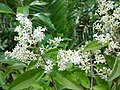 Ligustrum sinense leaves and flowers 2.jpg