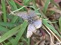Lilac silverline male Dorsal view IMG 4601.jpg