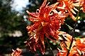 Lilium lancifolium 'Flore Pleno' (Double Tiger Lily).jpg
