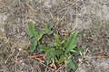 Limonium gmelinii - slatinski cvet - listovi 2.jpg