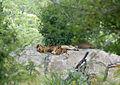 Lions (Panthera leo) (14029655002).jpg