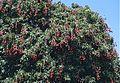 Litchi Tree (Litchi sinensis) (9600166150).jpg