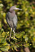 Little Blue Heron 9871.jpg