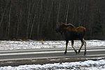 Living with wildlife, Moose 161101-F-SK378-0129.jpg