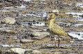 Ljungpipare European Golden Plover (14796057800).jpg