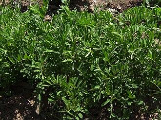 Lentil - Lentil plants in the field before flowering