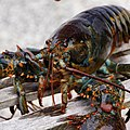 Lobster live - Flickr - Stiller Beobachter.jpg
