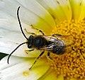 Long-horned Bee (Eucera sp.^) - Flickr - gailhampshire.jpg