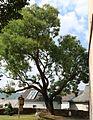 Lorch Rhg - Naturdenkmal Baum an der Kirche (ND.HE 2 09.2015).jpg