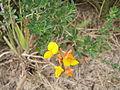 Lotus corniculatus - Gemeiner Hornklee - Le Lotier corniculé - Gewone rolklaver - Bird's foot - trefoil - Blüten.JPG