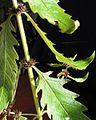Lycopus europaeus ssp. europaeus PID2063-3.jpg