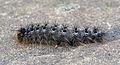 Lymantria dispar, UK.jpg