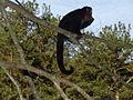 Macaco prego Manduri 060811 REFON 12.JPG