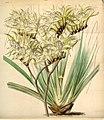 Macropidia fuliginosa (as Anigozanthos fuliginosa) - Curtis' 73 (Ser. 3 no. 3) pl. 4291 (1847).jpg
