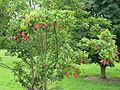 Magnolia cylindrica (21204033519).jpg