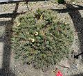 Maihueniopsis aff. ovata - UBC Botanical Garden - Vancouver, Canada - DSC08335.jpg