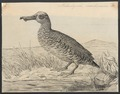 Malacorhyncha membranacea - 1864-1915 - Print - Iconographia Zoologica - Special Collections University of Amsterdam - UBA01 IZA1000150.tif