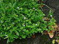 Malaysian False Pimpernel (2724175819).jpg