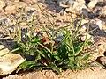 Malcolmia africana 1.jpg