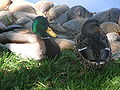 Male & female mallard in Redwood City 2.JPG