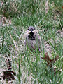 Male House Sparrow gathering grass for a nest 2.jpg