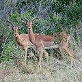 Male Impala (2874395865).jpg