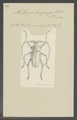 Mallaspis - Print - Iconographia Zoologica - Special Collections University of Amsterdam - UBAINV0274 032 06 0003.tif