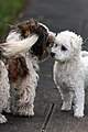 Maltese dog makes new friend (6225570139).jpg