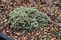 Mammillaria elongata v. cristalla - Volunteer Park Conservatory 01 (24716782370).jpg