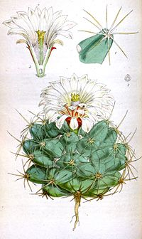 C. robustispina ssp. scheeri