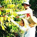 Man and children picking coffee berries, Hawaii.jpg
