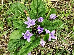 Mandragora autumnalis1431.JPG