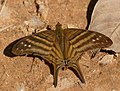 Many-banded Daggerwing (Marpesia chiron) (48383018697).jpg