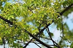 Maple-Verulamium-Park-20060429-001