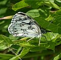 Marbled White - Flickr - gailhampshire.jpg