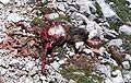 Marmot killed.jpg