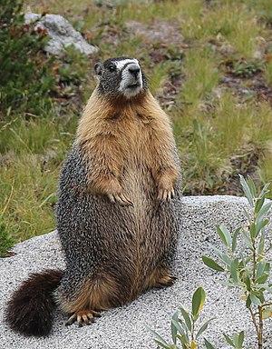 Yellow-bellied marmot - Well-fed Marmota flaviventris standing, Ansel Adams Wilderness, CA