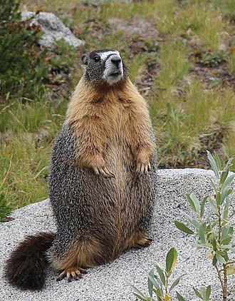 Yellow-bellied marmot - Well-fed Marmota flaviventris standing, Ansel Adams Wilderness, CA